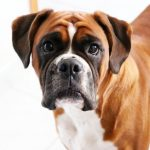 Why A Boxer Dog Is The Right One For You
